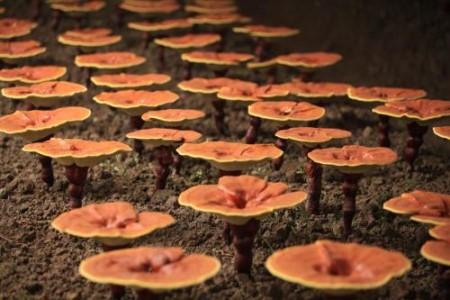 灵芝营养丰富是什么原因?看看它的生长环境就知道了