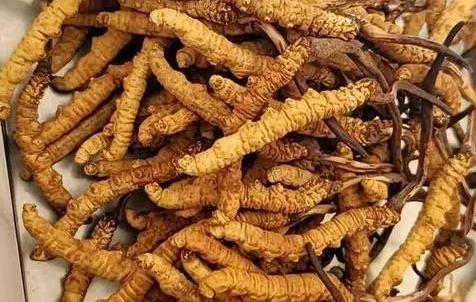 冬虫夏草那么多种吃法,哪种才能发挥作用?